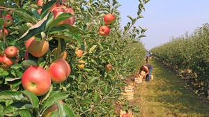 Canva_-_apple_picking_in_orchard
