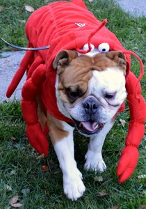 Lobster_pup