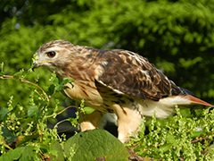Red-tailed_hawk_pjt_1786_240px