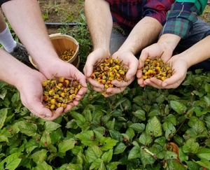 Spilanthes_in_hands
