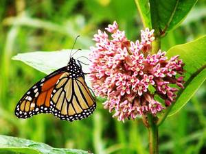 Butterfly-monarch-milkweed-web