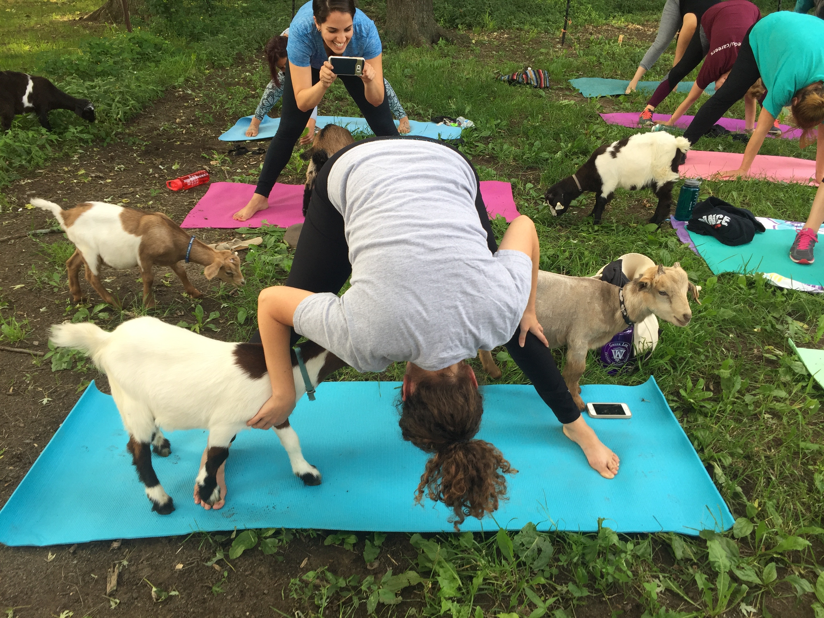 Image result for goat yoga