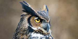 Great_horned_owl_shannon_quinn_apa_email-web_ready_image_0